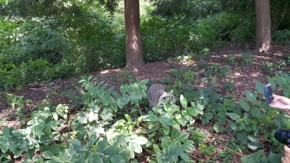 Even Racoons live in Central Park